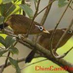 Một số chứng bệnh thường gặp ở chim Họa Mi và cách điều trị
