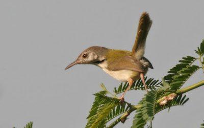 Hướng dẫn phân biệt chim sâu xanh trống mái