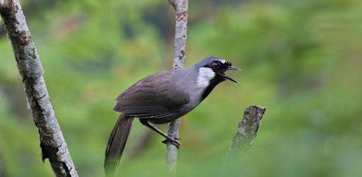 Cách chọn và kỹ thuật nuôi chim khướu hay nhất