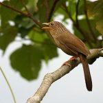Làm thế nào để chim Họa Mi hót được nhiều giọng?