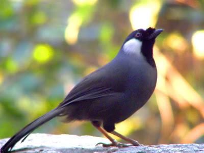 Chim khướu Việt Nam