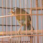 Những thuật ngữ dành cho dân chơi chim Họa Mi