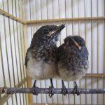Cách phân biệt chim chích chòe than non trống mái
