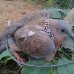 Thông tin về giống chim cu gáy