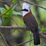 Tìm hiểu về cách nuôi giống chim khướu bách thanh