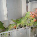 Độ Ồn Của Một Số Loài Vẹt