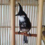 Cách chọn và nuôi chim chào mào trống