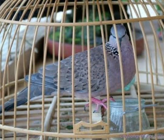 Tìm hiểu chất giọng của chim cu gáy