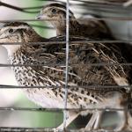 Cách phòng bệnh cho chim cút