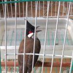 Những lưu ý khi nuôi chim chào mào