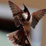 Những tiêu chuẩn ngoại hình của một chú chim chào mào đẹp
