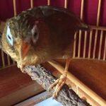 Cách thuần chim Họa Mi nhanh và hiệu quả