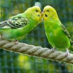 Những điều cần biết trước khi nuôi chim yến phụng