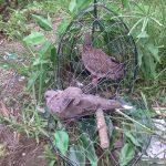 Một Số Kỹ Thuật Đánh Lụp Chim Cu Gáy Hay
