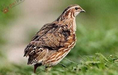 Bệnh Bại Liệt Và Đẻ Non Ở Chim Cút