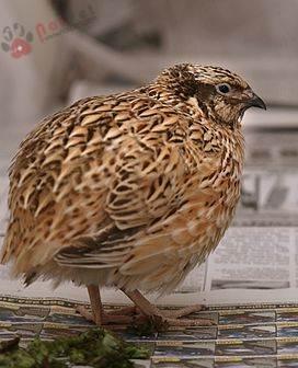 Bệnh Cầu Trùng Ở Chim Cút