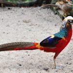 Bệnh chim trĩ và cách phòng trị
