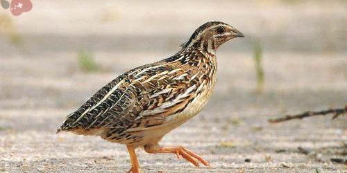 Bệnh Thương Hàn ở Chim Cút