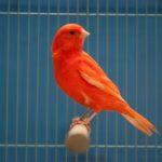 Kỹ thuật nuôi và chăm sóc chim Yến hót