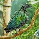 Các loài chim cu gáy Việt Nam