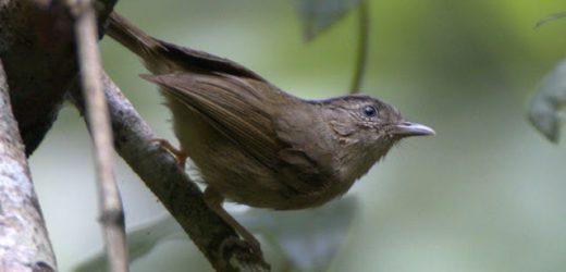 Các loại chim tiểu mi