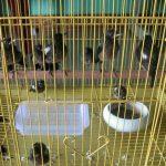 Chim chích chòe đất ăn gì? Cách nuôi chích chòe đất nhanh hót
