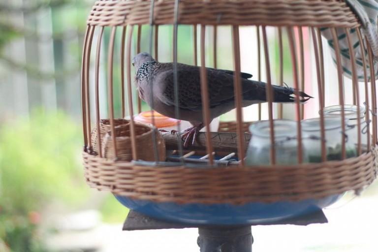 Cách nuôi chim cu gáy nhanh nổi. Thức ăn cho cu gáy mau nổi