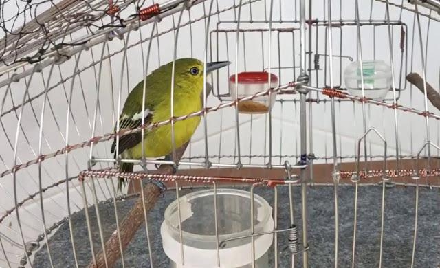 Cách nuôi Huýt cô mồi – Chim Nghệ vàng