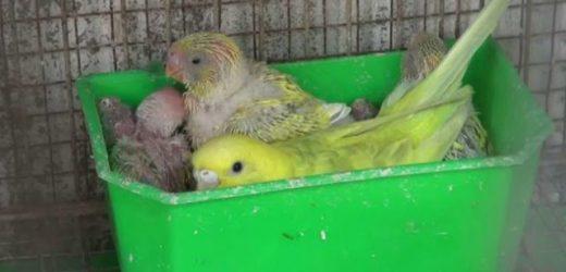 Cách nuôi yến hót sinh sản