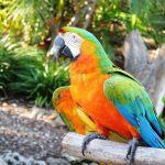Harlequin Macaws