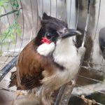 Cách chăm sóc chào mào thay lông giúp chim có bộ lông khỏe đẹp