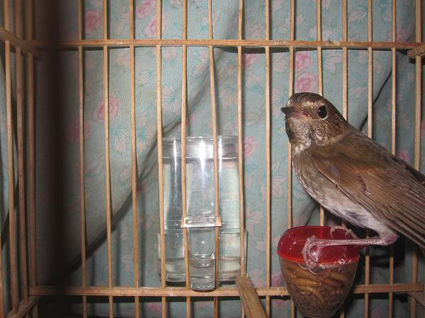 Chia sẻ cách chăm sóc chim tiểu mi