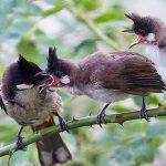 Cách chọn và nuôi chim chào mào mái