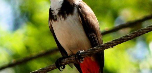 Một số kinh nghiệm nuôi và chăm sóc chim chào mào hay.