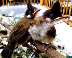 Cách nuôi chim chào mào non tốt nhất