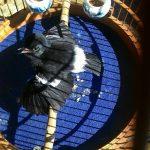 Chim chích chòe đất ăn gì? Kinh nghiệm nuôi chim chích chòe đất