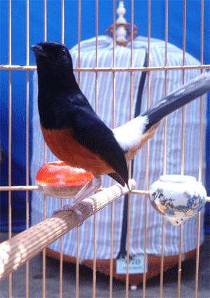 Hướng dẫn kỹ thuật nuôi chim Chích Chòe Lửa