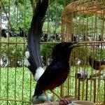 Tổng quan về loài chim Chích Chòe Lửa