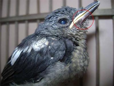 Cách để phân biệt chim Chích Chòe Than con