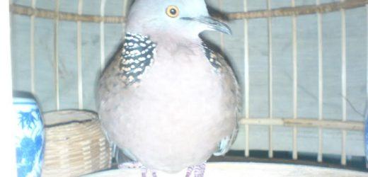 Cách chọn chim bổi để nuôi!
