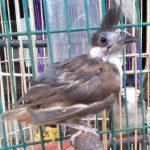 Cách chăm sóc chim chào mào thay lông chuẩn kỹ thuật nhất