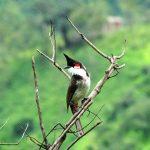 Chim chóp mao là chim gì? Đăc điểm của chúng ra sao?