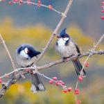 Những lý do khiến chim chào mào không hót