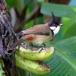 Nên cho chim chào mào ăn thức ăn gì để sung nhất