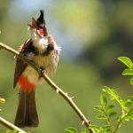 Cách chọn, chăm sóc và nuôi chim chào mào bổi thành mồi hay