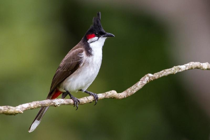 Cách lựa chọn chim chào mào đẹp nhất hiện nay