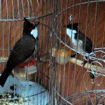 Kỹ thuật chăm sóc và nuôi chim chào mào đi thi đấu chuẩn nhất