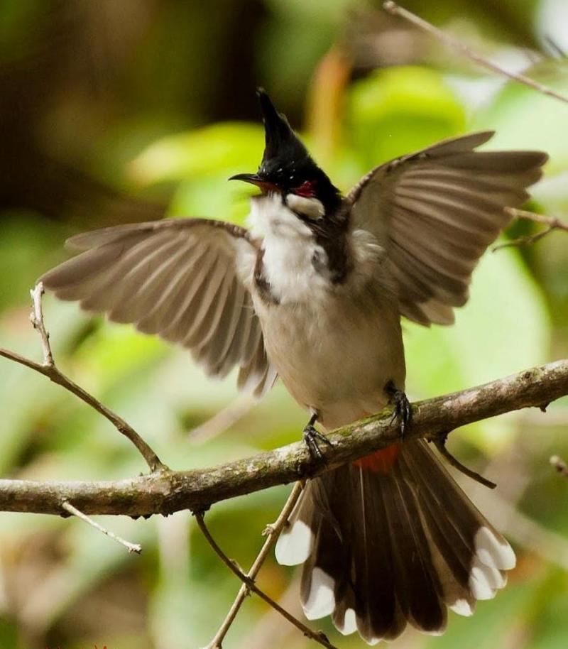 Cách nuôi chim chào mào sung hót hay và căng lửa 2017-04-25 23:43:01