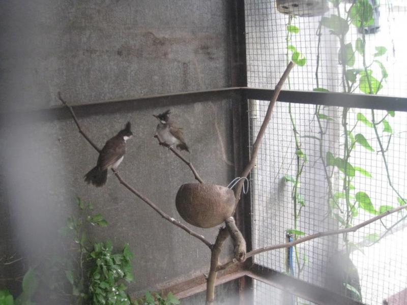 Kỹ thuật nuôi chim chào mào sinh sản và chăm sóc chào mào đẻ tốt nhất