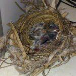 Kỹ thuật nuôi chim Chào Mào sinh sản toàn tập